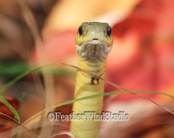 Eastern Garter Snake Photo | Reptile Face Photography | Boys Room Wall Art | Elaphe gloydi | Animal | Michigan Wildlife Photo | Snake Print