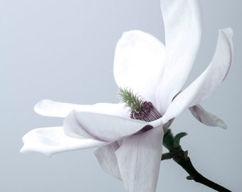 Magnolia in blue, photoart print/poster, 50x70cm (19,7x27,6inches)