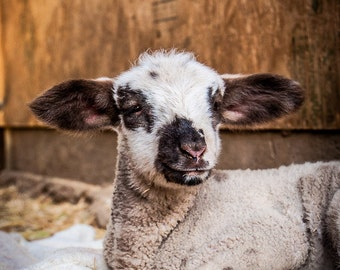 May Lamb, Farm Animal Rescue Sheep Portrait Photography