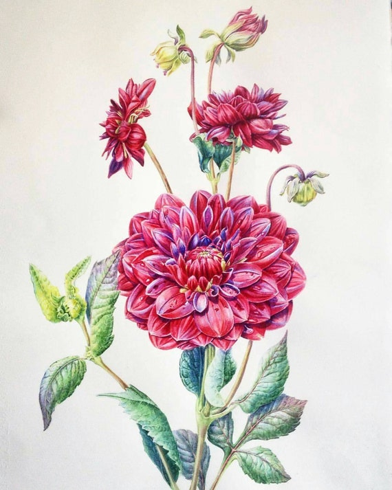 Items similar to Botanical illustration:Red Dahlia on Etsy