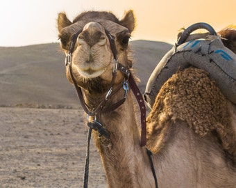 Desert Camel in Israel-Travel Photography-Wall Art-Fine Art Print-Home Decor