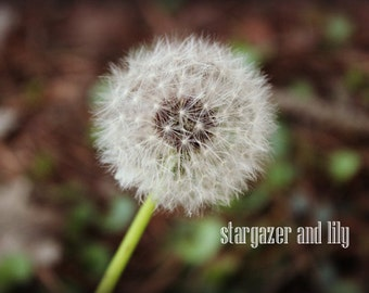 Dandelion picture, nature, photography