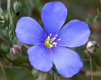 Blue Flax Flower Seeds / Linum Rubrum/ Perennial  75+