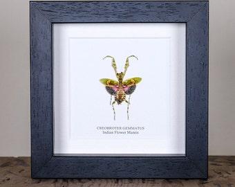 Indian Flower Mantis in Box Frame (Creobroter Gemmatus)