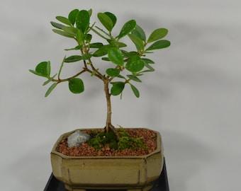 Indoor Bonsai,Ficus Green Island, 5 years old, Indoor and tropical