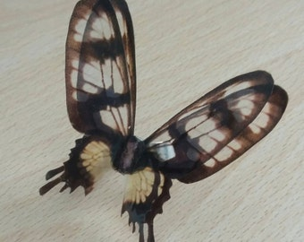 Swallow tail wing ring