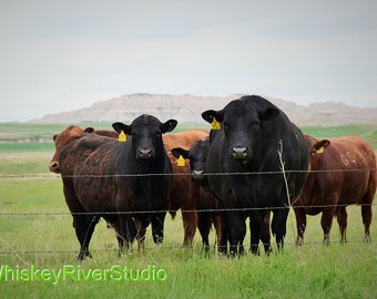 Cows on a ranch print. Canvas photo print. Canvas Photography. Wall Art. 8x10, 11x14, 16x20, 20x24.