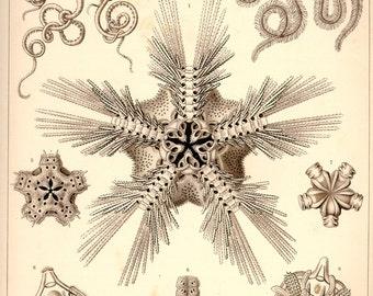Sea Stars, Scientific Illustration, Sea Illustration, Scientific Stars, Stars Illustration, Stars Sea, Illustration Sea, Sea Star Drawing