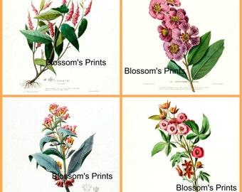 Set of four antique Flower Prints. Plates 19,18,17,16