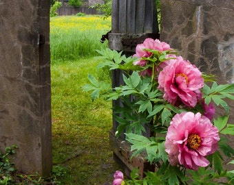 Garden Gateway with peonies. Photograph printed on canvas.