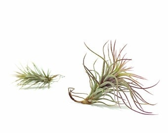 Tillandsia Funckiana Air Plant // Hello Tilly Airplant