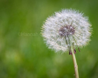 Dandelion puff: Fine Art Photography