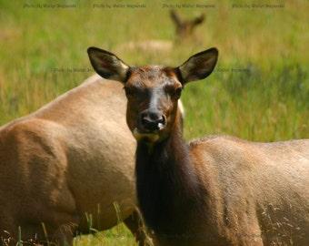 Estes Park CO Elk - Photography Digital Download