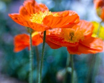Nature photography - Pretty Poppies