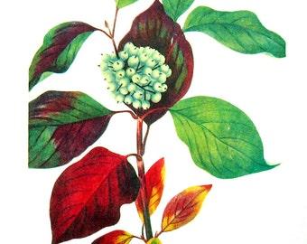 Red Osier Dogwood, Flowering Dogwood - Flower Print - 1950's Vintage Botanical Illustration - Vintage Book Page - 12 x 8