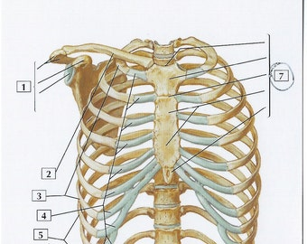 Bony Framework of Thorax Anatomy Flash Card by Frank H. Netter to Frame or for Paper Arts, Collage Scrapbooking and MORE PSS 2705