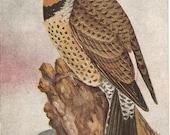 Vintage  Bird Postcard  Flicker Woodpeckers,  birds on tree, antique woodpecker postcard