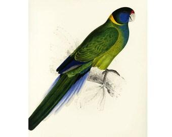 Parrot Bauer's Parrakeet Print by Edward Lear SALE Buy 3, get 1 FREE