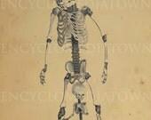 5x7 Print Of Vintage Illustration Skeleton Skulls Human Oddities Freaks Anomalies Over My Dead Body