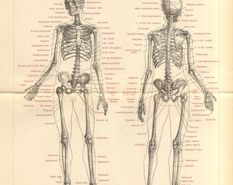 1893 Original Antique Engraving of the Human Skeleton, Anterior and Back View