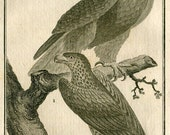 1802 Eagles Antique Print Birds of Prey Original Vintage French Engraving Buffon