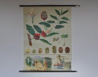 Coffee School Chart. RARE Original Pull Down School Chart. Mid Century Botanical Print.  Jung Koch Quentell. Germany. 1152