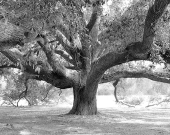 Tree photo print, black and white art, live oak picture, Georgia photography, large wall decor, canvas, 5x7 8x10 11x14 12x16 16x20 20x30