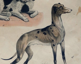 "1850 Gorgeous Antique print.Lithograph.Colored by hand.Published in Copenhagen.""Dog breeds""166 years old print.22x31 cm.12.5x8.2 inches"