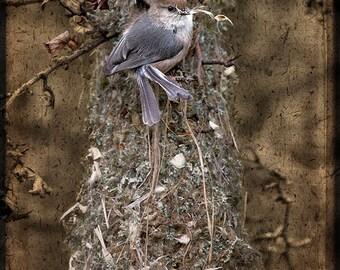 Bushtits at Their Nest
