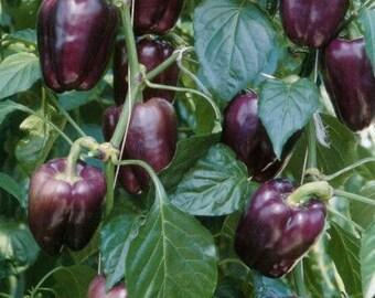 Organic Purple Bell Pepper Seeds 20+