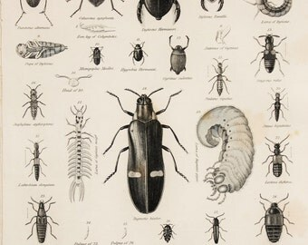 1850s Antique Entomology Print, Insects, Beetles. Black and White Engraving