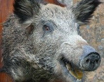 FREE POSTAGE Antique, Vintage French Taxidermied Wild Boar Mounted on a Large Oak Shield