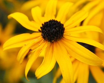 Yellow Black Eyed Susan Flower, Floral Garden Photography Print, Botanical Nature Wall Art