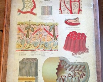 Antique Victorian original anatomical chart poster display internal organs medical Yaggy's Study body 1885 gruesome weird