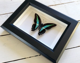 Real framed butterfly: Graphium sarpedon // shadowbox // mounted // gift for her // housewarming gift // natural decoration