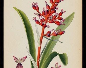 1896 BOTANICAL antique print, flower print chromolithograph of a Coralberry, ornamental plant