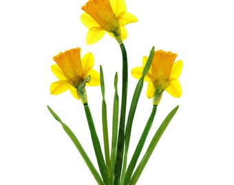 Daffodil Note Cards - Set of 6 Pressed Flower Cards -   - #071