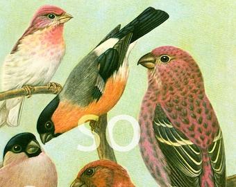 1961 Bullfinches, Pyrrhula, vintage Bird Print, Ornithology, Natural history, nature wall art