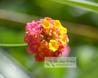 Pink Lantana Flower Photography, Pink Flower Photography, Nature Photography, Fine Art Photography, Yellow Flower Picture