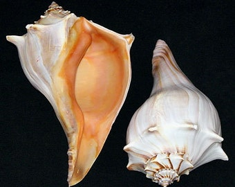 """LARGE FLORIDA WHELK Seashells ~ Busycon sinistrum ~ Approx. 7""""-9"""" ~ Makes a Beautful Show Piece Display. ~ Free Shipping ~"""