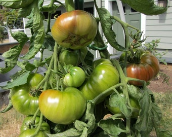 Cherokee Purple Tomato - 30 seeds (Organic/non-GMO)