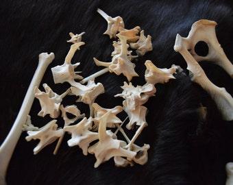 Gray Fox Bones