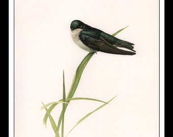 """Vintage Book Print 1968 Birds Of The Eastern Forest : Tree Swallow Single Page Wall Art Decor Print 9.5"""" x 13"""""""
