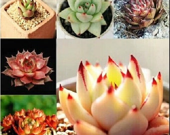 Home Garden Succulent Plant 5 Seeds Rare ECHEVERIA Agavoides Ebony Mixed Seeds