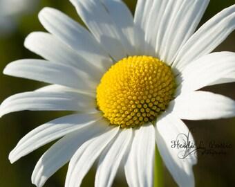 Daisy photograph, flower photograph, wildflower