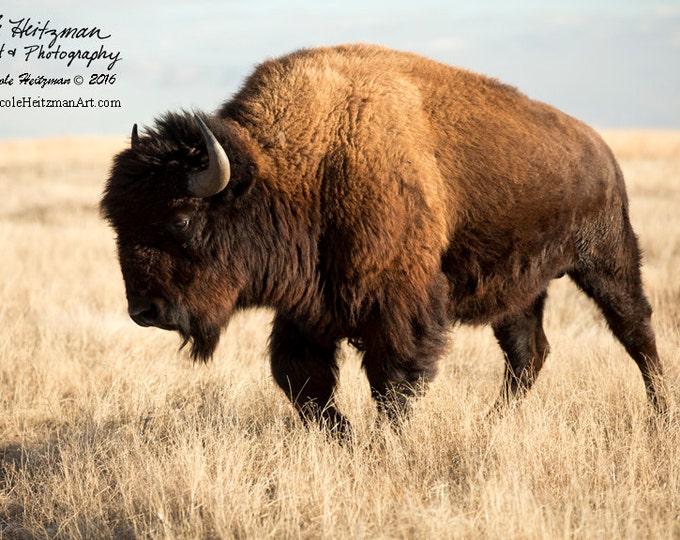Buffalo Photo Buffalo Photography Bison Photo Metal Print Gift for men women South Dakota Custer State Park Black Hills Photography Heitzman