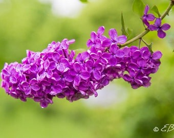 Lilac Photograph Print Art Purple Violet Green Flower Photo Nature  Garden Close-up Flora Flowers Beautiful