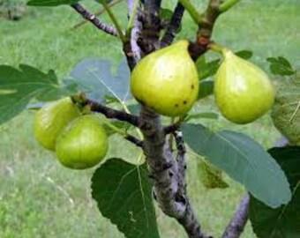 Ficus carica Ischia Fig plant.