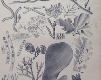 1880 ALGAE Original Antique Steel Engraving Print - Wall Decor - Victorian Decor - Encyclopaedia Illustration