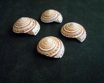 "4 Large Sundial Shells (architectonia perspectiva) 1 1/2"" - 1 3/4"" Seashells Beach Crafts Nautical Decor Stunning"